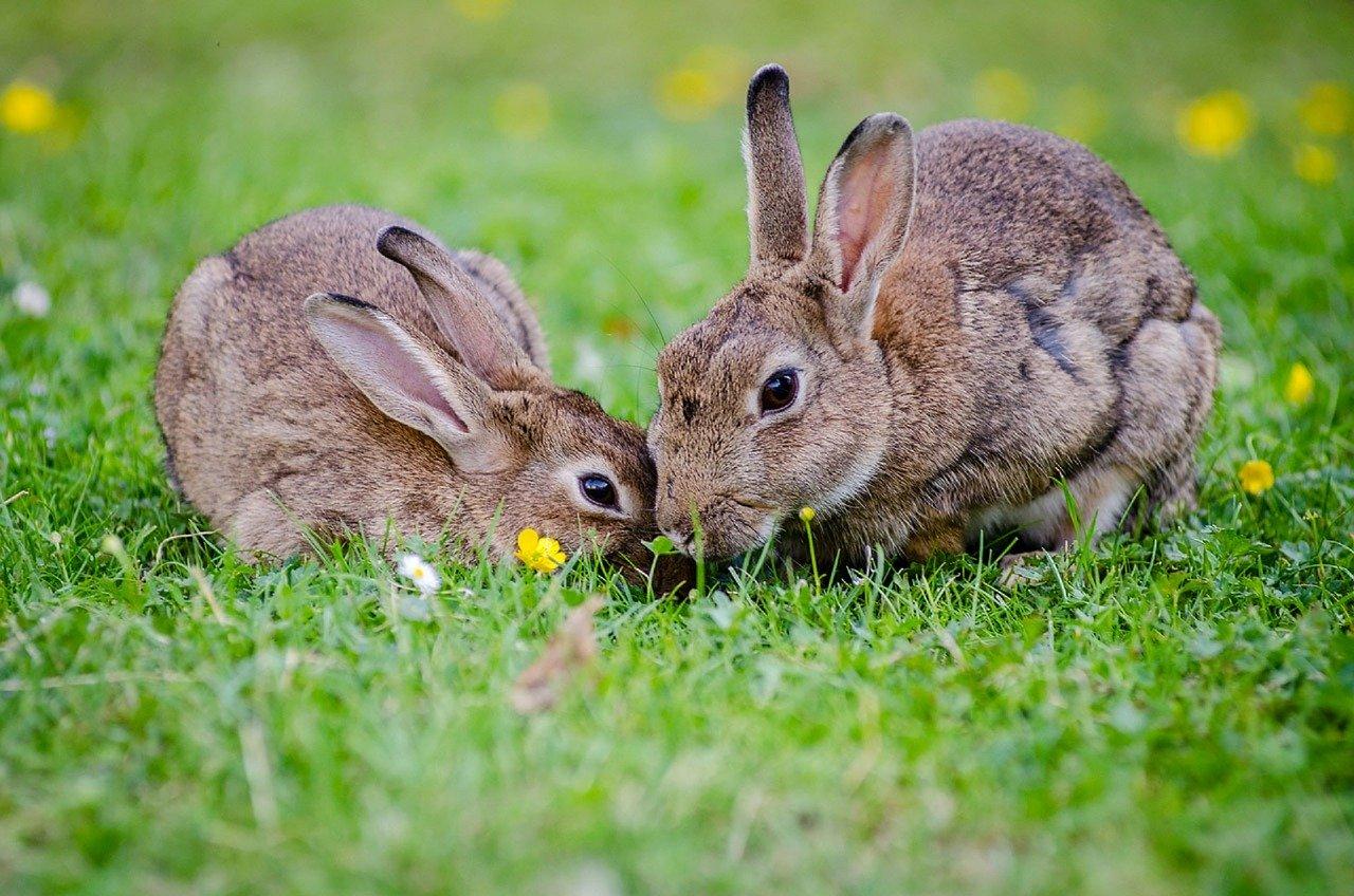 Jak powstała plaga królików w Australii?